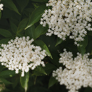elderflower-cordial-315