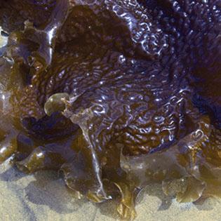 sea-kelp-315